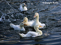 DG13-026x  Pekin Duck - immature adult splashing and swimming in pond