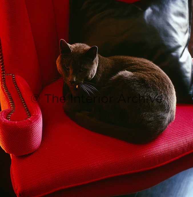 The resident Burmese cat finds a comfortable spot in an armchair upholstered in a deep red fabric