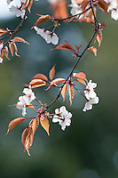 Detail of a branch of cherry blossom