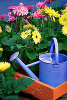 Yellow watering can with Gerdera Daisy flowers. Oregon