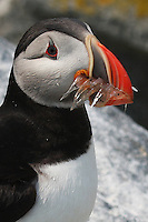 Atlantic Puffin with Shrimp Portrait  #P28