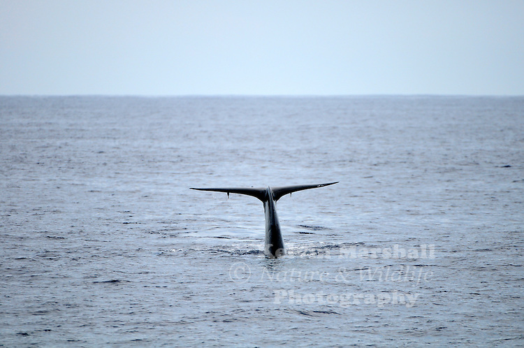 Blue Whale (Balaenoptera musculus) – the largest creatures on Earth – as well as fin whales, sei whales, sperm whales, orcas (killer whales), dolphins, flying fish, turtles, manta rays and whale sharks can all be seen a few miles off the South Coast of Sri Lanka.