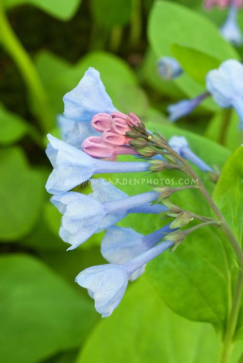 Virginia bluebells in blue flowers spring plant flower stock mertensia virginica native american wildflower virginia bluebells showing closeup of blue bell like flowers in spring mightylinksfo