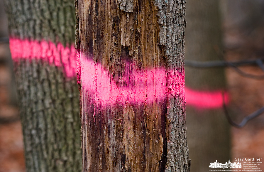 Pink spray paint marks a series of ash trees to be removed from a forest near Toledo, Ohio. The trees are being destroyed by the ash borer beetle, an invasive species of beetle  thought to have brought into the country from China in wooden pallets used to carry imported goods. The beetle kills the trees by boring under the bark.<br />