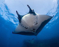 Giant Manta, Manta birostris, San Benidicto, Revillagigedo Islands, Mexico, Pacific Ocean
