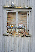 Kittiwake gulls, Rissa tridactyla, breeding on the wall of an abandoned house, Båtsfjord village harbour, Varanger Peninsula, Norway, Scandinavia