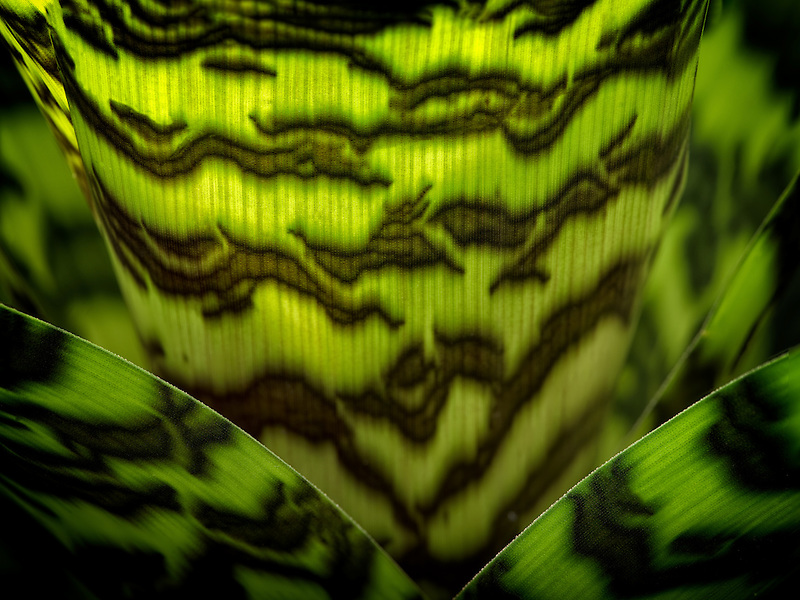 Close up of Vriesea hieroglyphica. Oregon