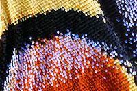 """Schwalbenschwanz, Schwalben-Schwanz, Detailansicht Hinterflügel, """"Auge"""", Papilio machaon, Old World Swallowtail, common yellow swallowtail, swallowtail, swallow-tail, Le Machaon, Grand porte-queue"""