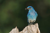 Mountain Bluebird, Sialia currucoides, adult male with prey, Rocky Mountain National Park, Colorado, USA, June 2007