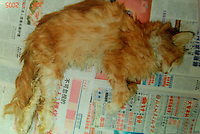 A cat that was rescued from a Government compound was in terrible condition and weighed just 1.5 kilos rather than a normal 5 kilos. Half of the rescued animals died. Cats are being abandoned in large numbers and are ending up in Government compounds where they slowly die.
