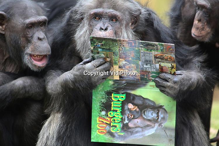 Foto: VidiPhoto<br /> <br /> ARNHEM - Aap, noot, Mies. Met de neus in de boeken begonnen de chimpansees van Burgers' Zoo in Arnhem vrijdagmiddag al vroeg aan het boekenbal. Het leesvoer met veel plaatjes werd letterlijk verslonden. Belangrijkste reden was dat de verzorgers van het Arnhemse dierenpark voor honing met nootjes en zaadjes tussen de pagina's hadden gezorgd. Met zichtbaar plezier haalden de mensapen, die vrijdag na een lange winterrust ook weer voor het eerst naar buiten mochten, hun tong over de afbeeldingen van zichzelf en hun collegadieren in het grote dierenboek van Burgers' Zoo. De dierentuin vraagt hiermee op een ludieke wijze aandacht voor de Nederlandse boekenweek die zaterdag officieel van start gaat. Bovendien is het op een gevarieerde wijze aanbieden van voedsel een stuk gedragsverrijking voor de dieren.