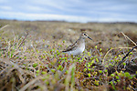 Least Sandpiper (Calidris minutilla) cautiously approaching its nest. Yukon Delta National Wildlife Refuge. May.