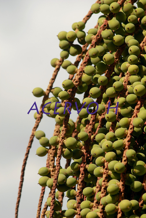 """A bacaba, bacaba-açu ou bacaba-verdadeira (Oenocarpus bacaba) é uma palmeira nativa da Amazônia. Distribui-se por toda Bacia Amazônica, com maior freqüência no Amazonas, Pará, Acre e Tocantins. Possui como habitat a mata virgem alta de terra firme. Também se acha na floresta do Pacífico, no oeste da Colômbia. É uma palmeira monocaule de porte alto e estipe liso. Pode atingir até 20 metros de altura e 20 a 25 cm de diâmetro.<br /> <br /> O fruto é uma drupa subalongado quando jovem, subglobosa quando adulto podendo atingir até 3,0 gramas. A propagação é feita por sementes que germinam entre 60 e 120 dias, apresentando crescimento lento. É arredondada, de casca roxa e polpa branco-amarelada, rica em um óleo, de cor amarelo-clara, usado na cozinha.<br /> <br /> A polpa do fruto é utilizada no preparo do """"vinho de bacaba"""". A polpa é extraída do fruto desta palmeira, a qual dá frutos em cachos com dezenas de caroços. Os cachos pesam normalmente 6 a 8 quilos, podendo ocorrer, no entanto, exemplares com mais de 20 quilos. Para a obtenção da bebida, procede-se da mesma forma que no preparo do açaí. Obtém-se, assim, um líquido de cor parda, servido gelado com açúcar, farinha de tapioca ou farinha-d'água. Deliciosa e refrescante, a bacaba é, no entanto, menos popular que o açaí. É muito usada também para fazer sorvetes.1<br /> <br /> As amêndoas e os restos de macerado da polpa são utilizados na alimentação de suínos e aves. As folhas são usadas pela população do interior como cobertura de moradias, enquanto o tronco serve como esteio, viga e cabo de ferramentas.<br /> Marajó, Salvaterra, Pará, Brasil.<br /> Foto Paulo Santos<br /> 2008 Fruto de bacaba em casa de Salvaterra no Marajó."""
