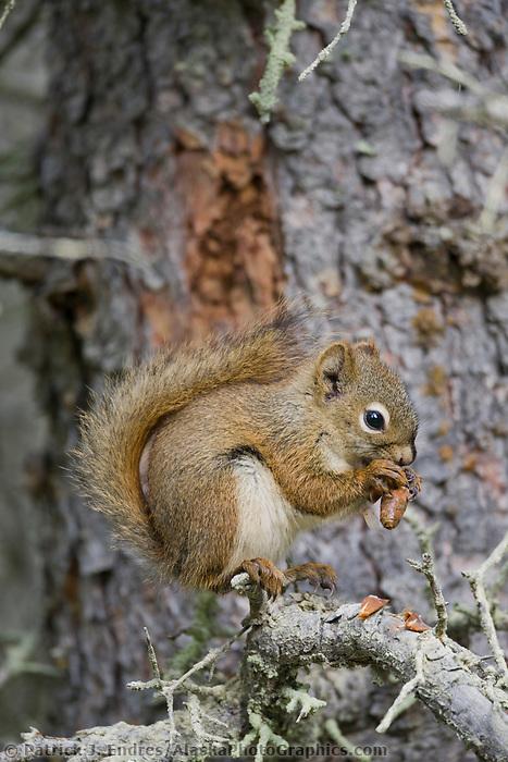 Red squirrel eats spruce cones, Katmai National Park, Alaska.