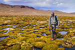 Andean Mountain Cat (Leopardus jacobita) biologist, Juan Reppucci, walking through bofedal wetland, Abra Granada, Andes, northwestern Argentina