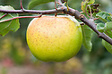 Apple 'Murfitt's Seedling', late September. An English culinary apple dating back to the late 19th century, probably from Huntingdon.
