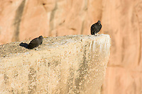 Two immature California Condors (Gymnogyps californianus).   Western U.S.