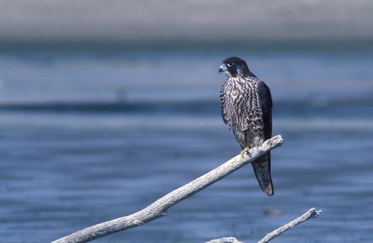 Peregrine Falcon - Falco peregrinus - Juvenile