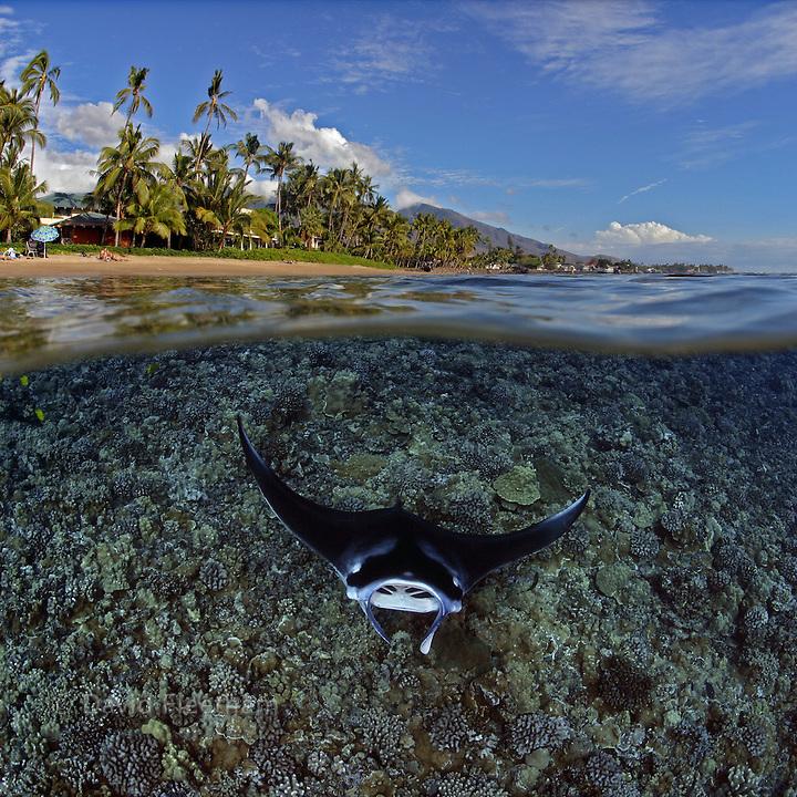 Split image of a manta ray, Manta birostris, off West Maui, Hawaii.