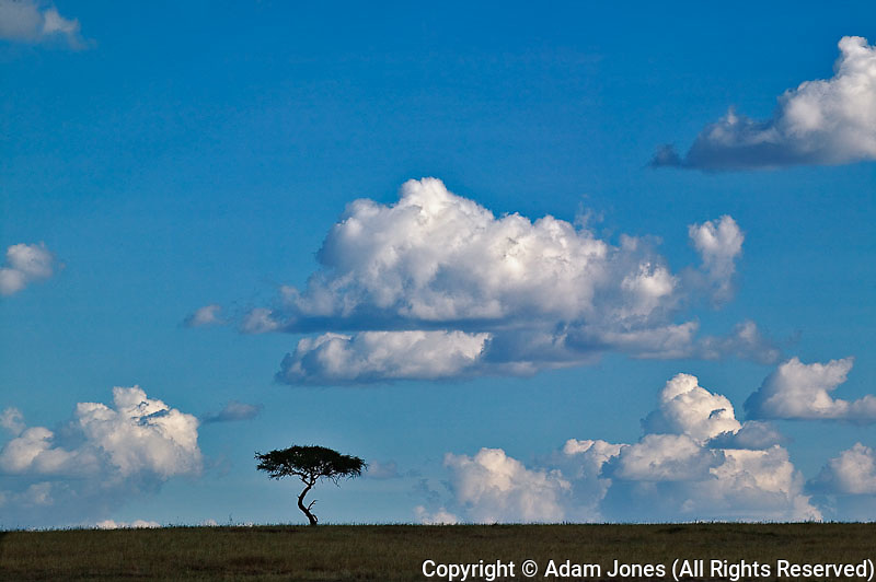 Silhouetted Acacia tree, Masai Mara, Kenya, Africa