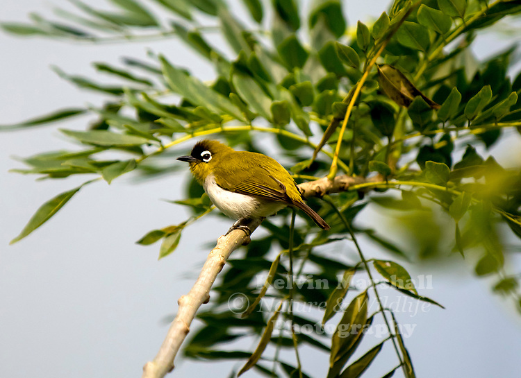 Mountain white-eye or oriental white eye (Zosterops montanus) is a species of bird in the family Zosteropidae. It is found in islands of Malesia, i.e. Indonesia and the Philippines, except Borneo. It is an introduced species in south-west China and parts of Sudan