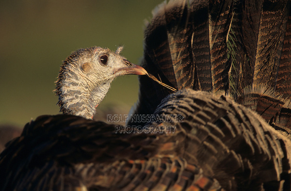 Wild Turkey, Meleagris gallopavo, female preening, Welder Wildlife Refuge, Sinton, Texas, USA, April 2005