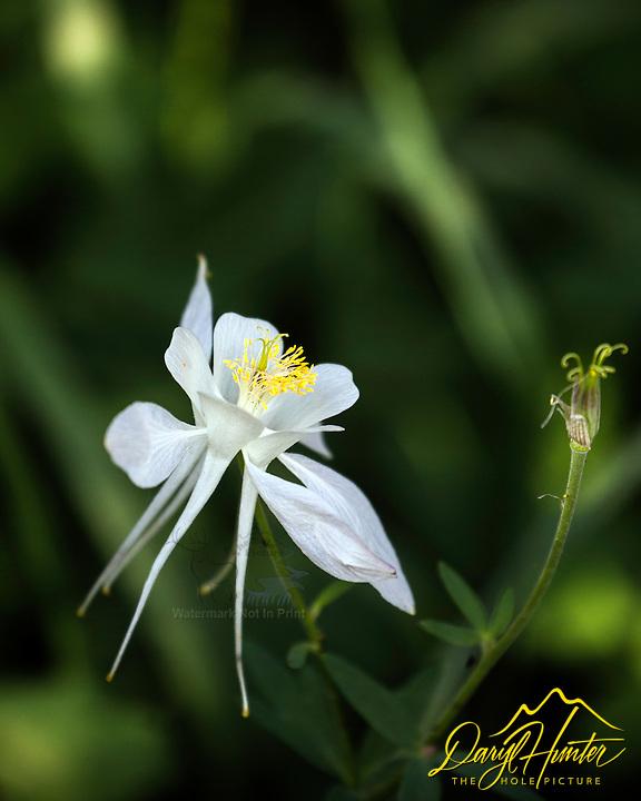 columbine, wildflowers of the Grand Tetons