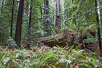 Forest floor in the California Coastal Redwoods.