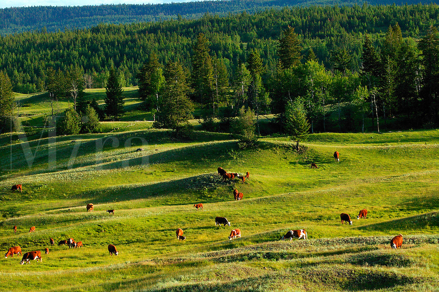 Cows in British Columbia, Canada.