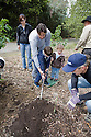 Volunteer tree planting along the Stevens Creek Trail in Mountain View, CA, on 3-29-08. Organized by Mountain View Trees (mountainviewtrees.org).  Photo available in high resolution.