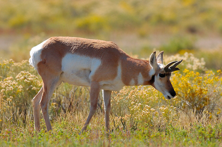 Pronghorn Young Male, Lower Mammoth, Yellowstone National Park, Wyoming