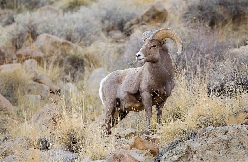 Bighorn Sheep<br /> Ovis canadensis<br /> Green River, Utah, USA