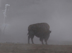 Lone buffalo in fog