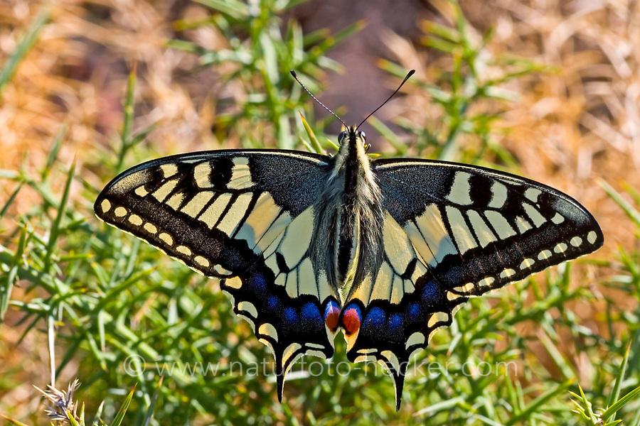 Schwalbenschwanz, Schwalben-Schwanz, Papilio machaon, Old World Swallowtail, common yellow swallowtail, swallowtail, swallow-tail, Le Machaon, Grand porte-queue