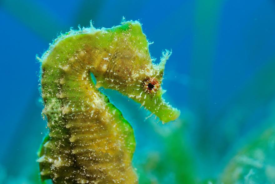 Short-snouted seahorse (Hippocampus hippocampus), Gozo, Maltese Islands