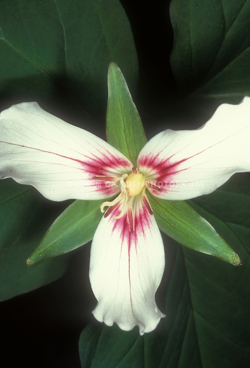 painted trillium undulatum in spring flower  plant  flower stock, Beautiful flower