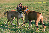 0801-0808  Boxer and Mixed Breed Dog Play Fighting, Canis lupus familiaris © David Kuhn/Dwight Kuhn Photography.