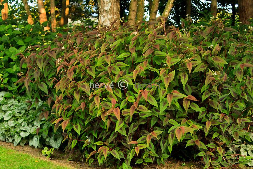 Jardins du pays d'Auge, renouée 'Red Dragon', Polygonum microcephala 'Red Dragon'.