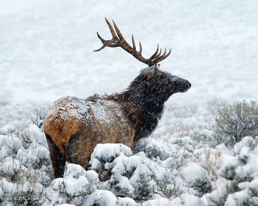 A bull elk feeds in open sage as a winter storm settles over the Wasatch Mountains, Utah.