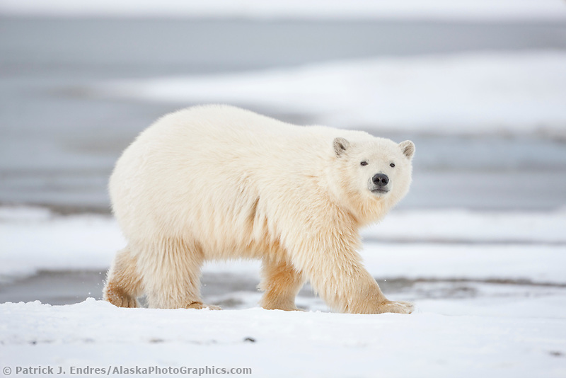 Polar bear cub walks along the shore of a barrier island in Alaska's Beaufort Sea, Arctic National Wildlife Refuge.