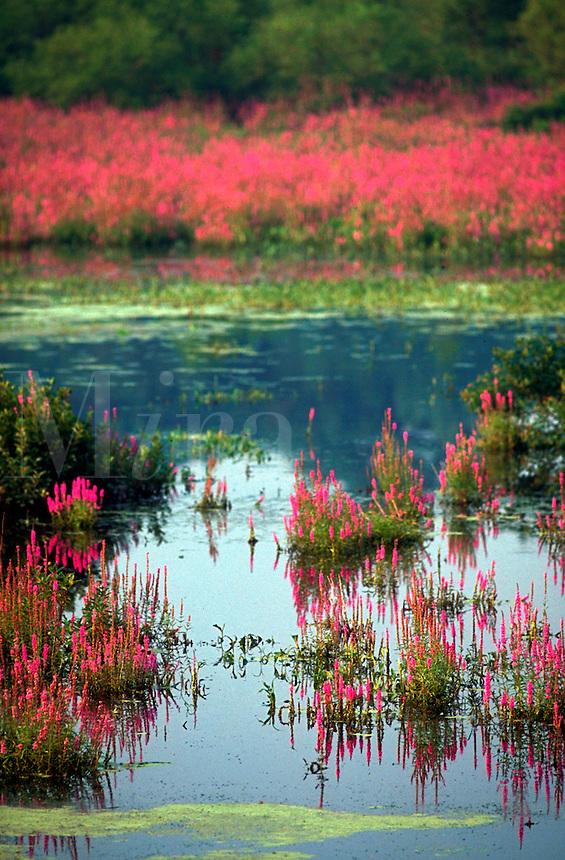 Loosestrife growing in wetlands.