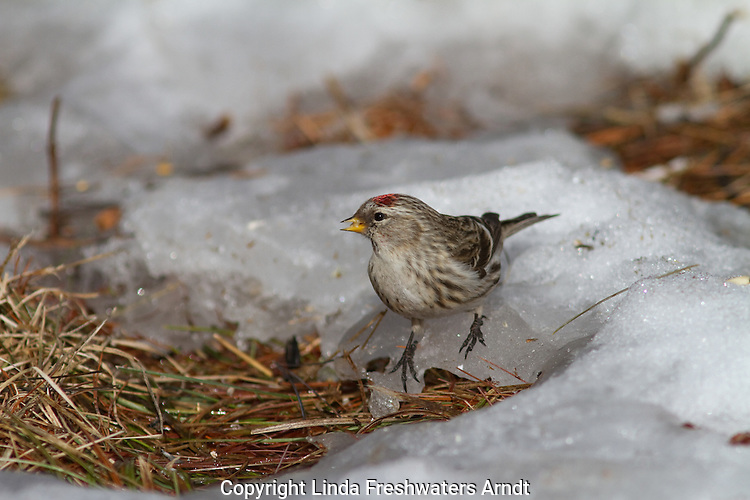 Common redpoll in Wisconsin