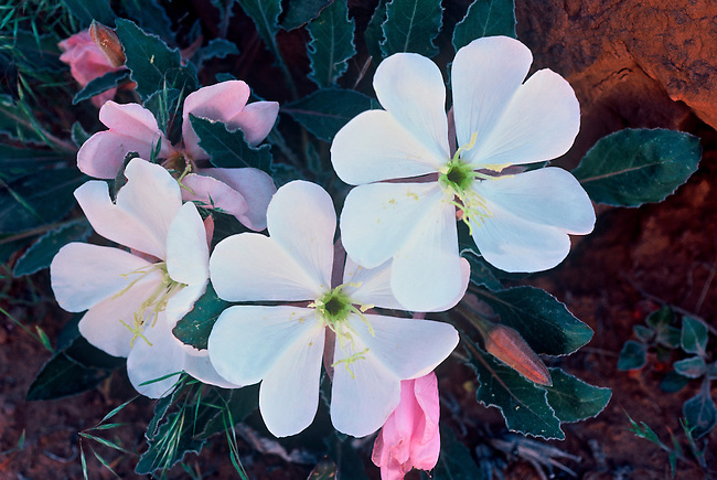 Morning light casts its glow on the evening primrose (Oenothera caespitosa) in Arches National Park, near Moab, Utah.
