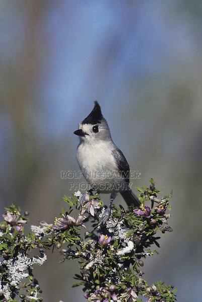 Black-crested Titmouse (Baeolophus atricristatus), adult perched on blooming Guayacan (Guaiacum angustifolium), Starr County, Rio Grande Valley, Texas, USA