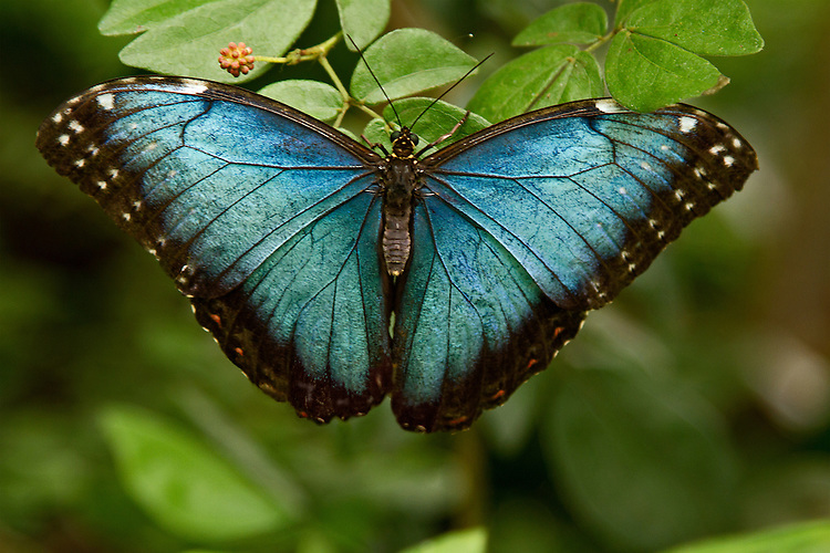 A Blue Morpho rests upon green leaves with one upper wing slightly tucked under one of the leaves. The beautiful blue color and markings of this butterfly are clear as is the body, head and antennae.
