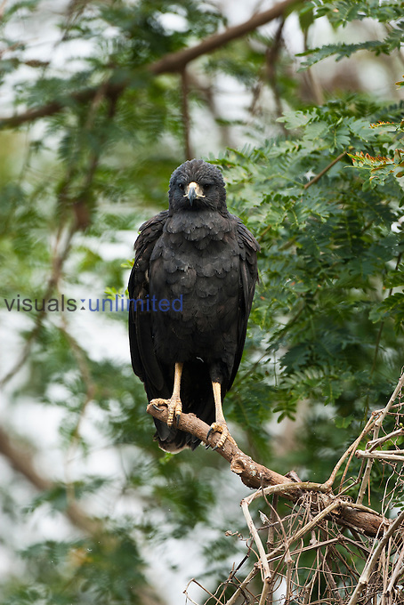 Great Black Hawk (Buteogallus urubitinga) perched in tree, Pantanal, Brazil, South America.