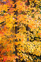 Maple Tree in Autumn Fall Colors, Soos Creek Park, Kent, WA, USA.