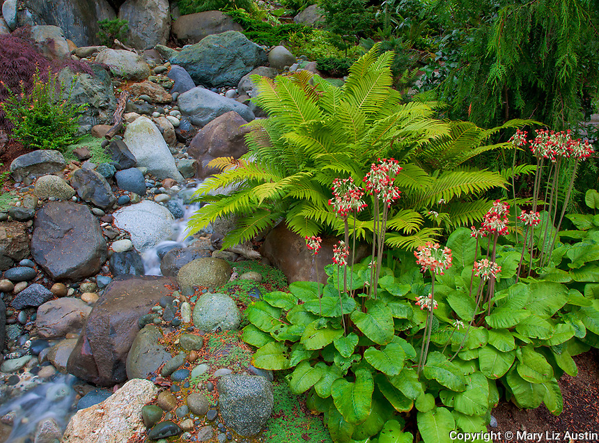 Vashon-Maury Island, WA<br /> Red blooming candelabra primrose 'Inverewe'  and ferns adjacent to a small waterfall in a woodland perennial garden.