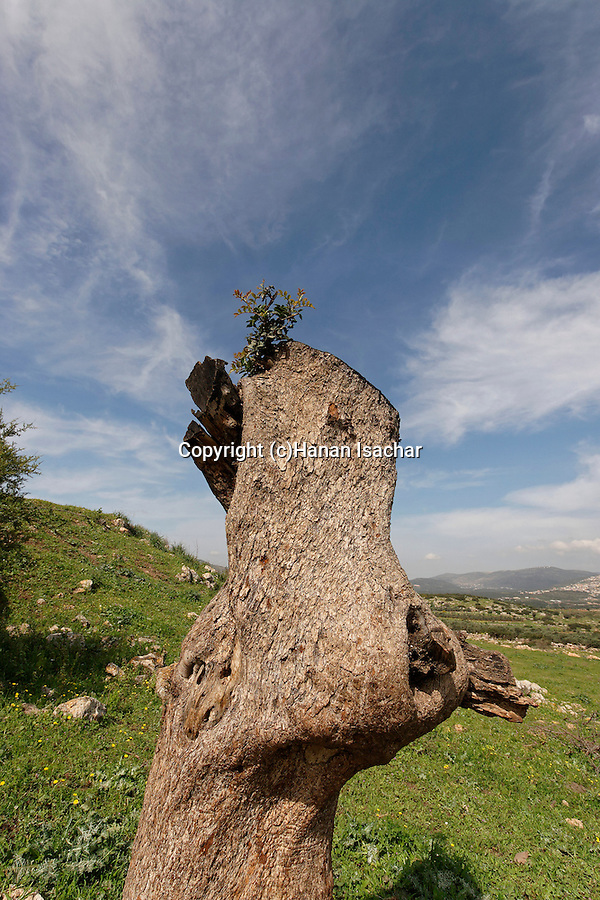 Israel, the Lower Galilee. The trunk of a Mastic Tree (Pistacia Lentiscus) in Hurbat Mamlach