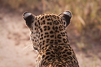 Looking over a leopard's back in Samburu National Park, Kenya